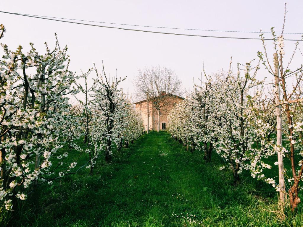 Primavera Modena: a Vignola tra i ciliegi in fiore