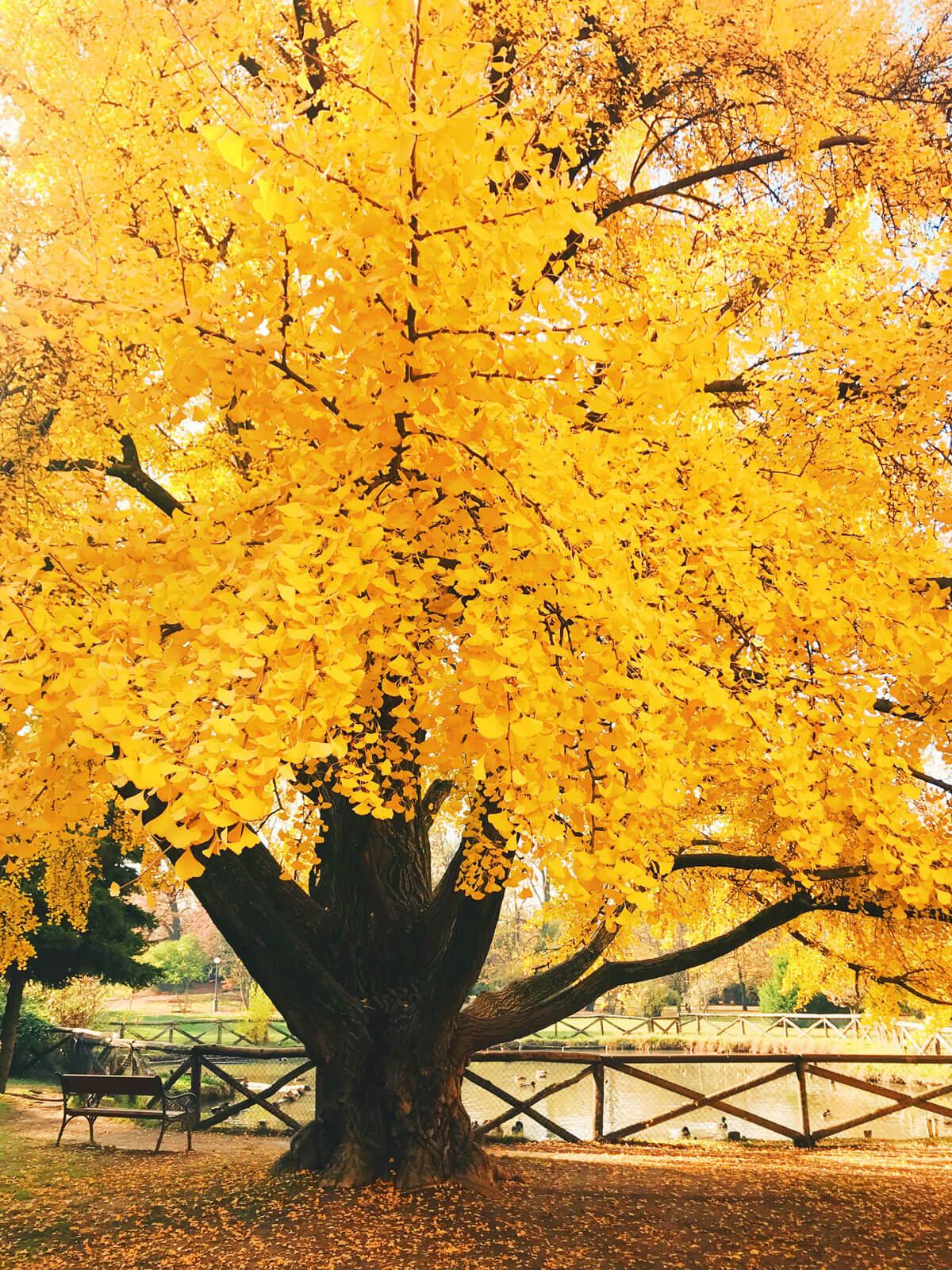 Foliage_Modena_Gingko_VillaAggazzotti_Formigine_panchinalago
